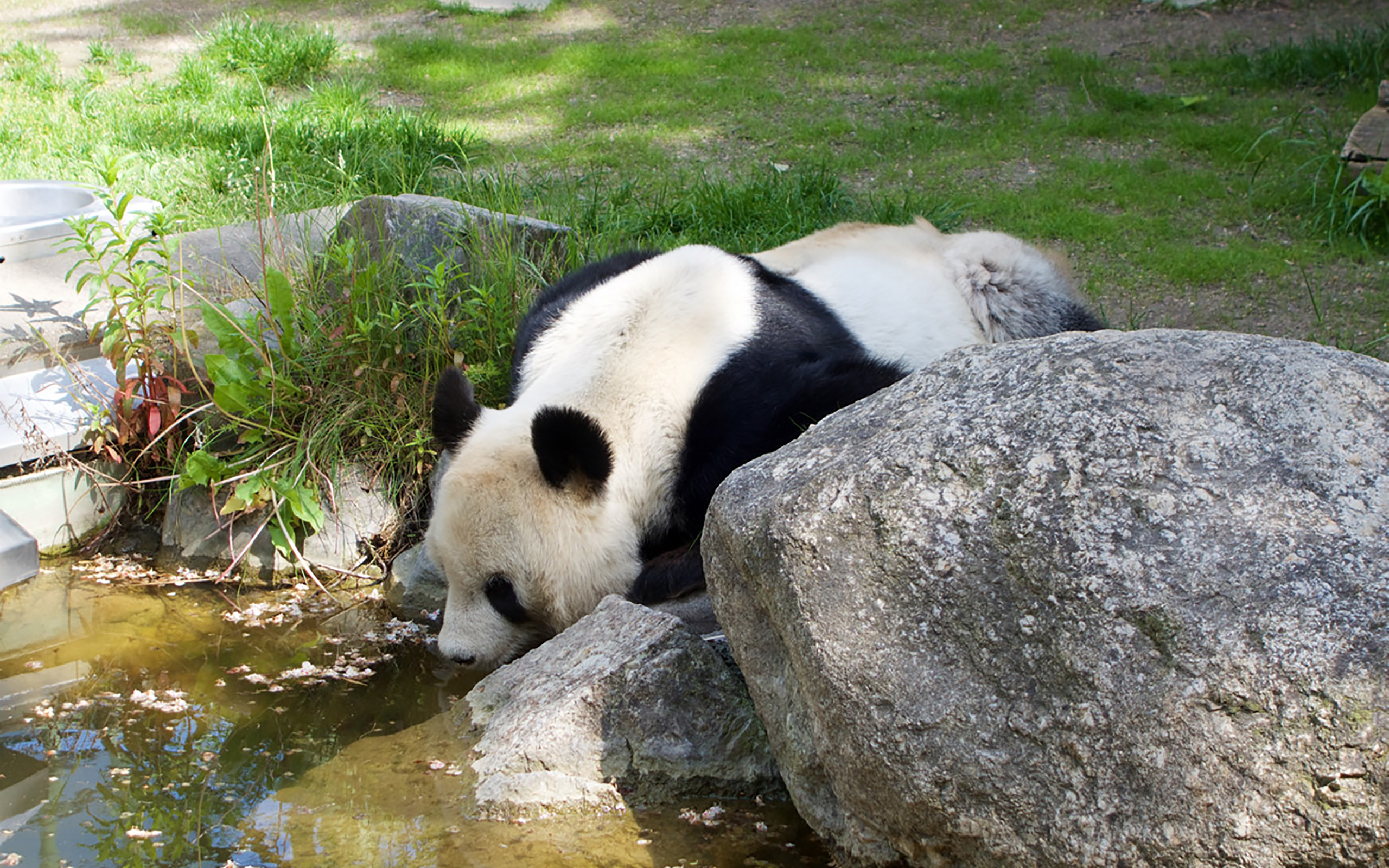 Ein Panda im Tiergarten Schönbrunn.