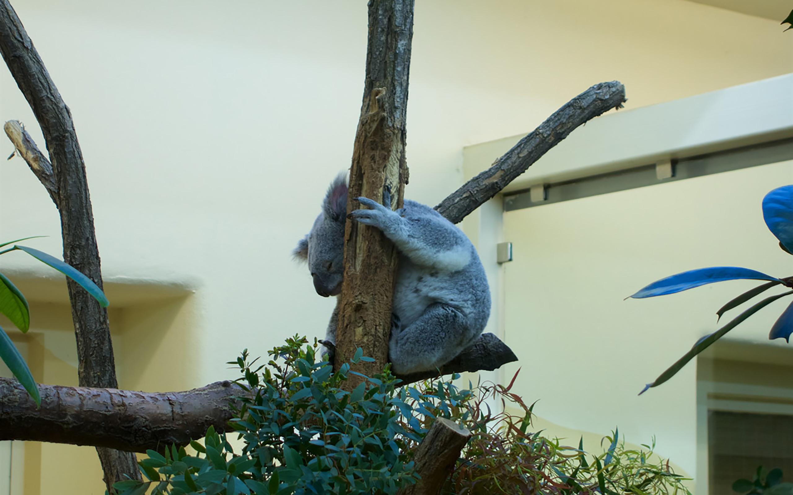 Ein Koala im Tiergarten Schönbrunn.
